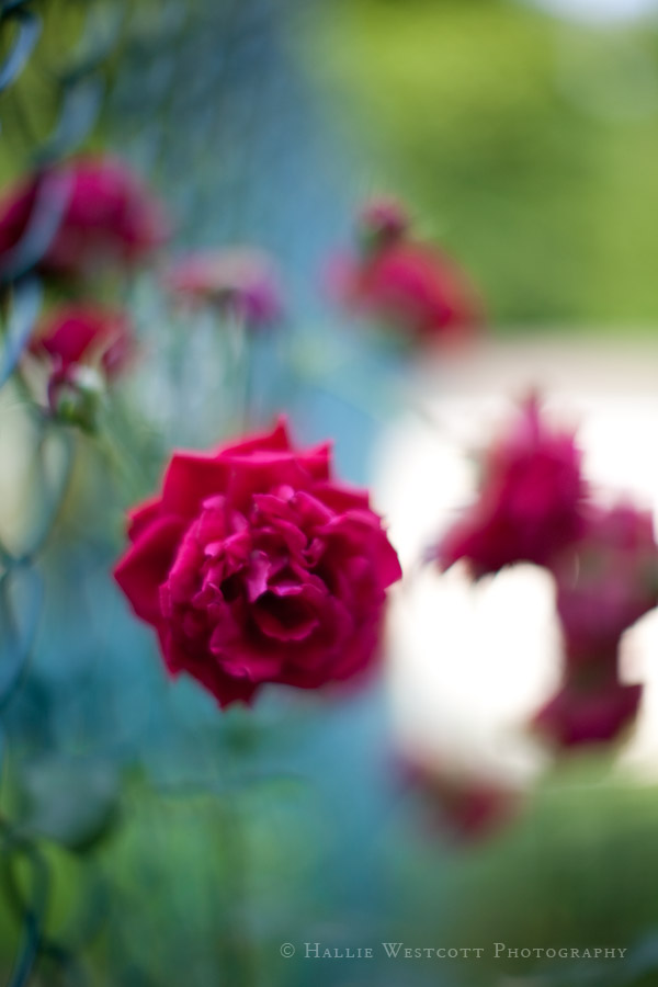 Roses on the fence captured with the Canon 50mm 1.2 lens